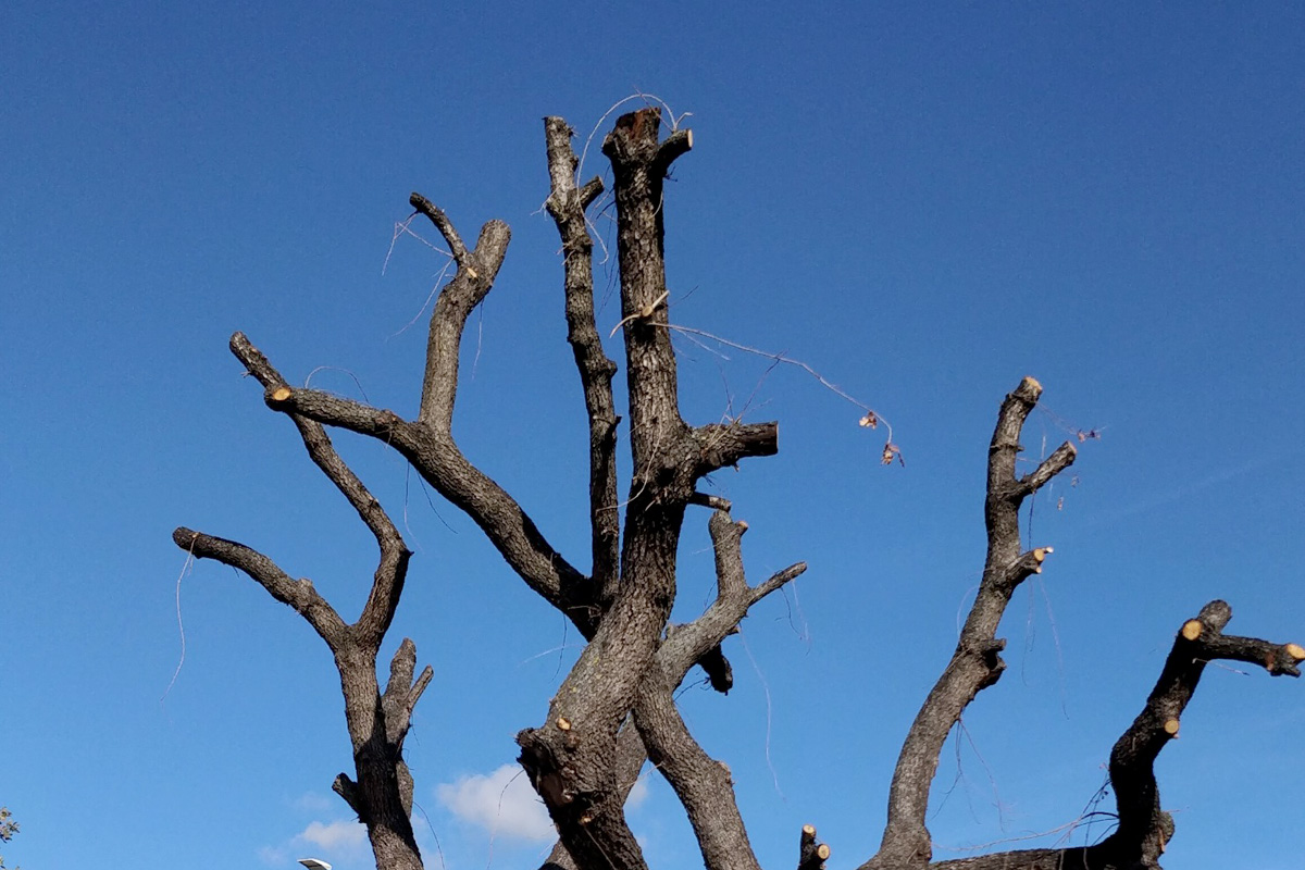 """Come Far Morire Una Pianta la capitozzatura: come """"uccidere"""" un albero - my garden 360"""